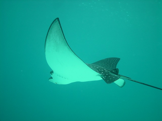 discovery_cover_eagle-rays-386619_640