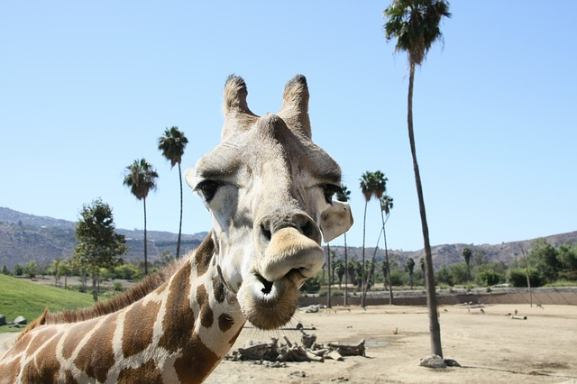 sandiego_zoo_giraffe-569449_640