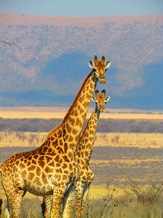 giraffes-382399_960_720